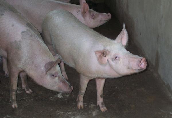 combaterea limbricilor la porci)