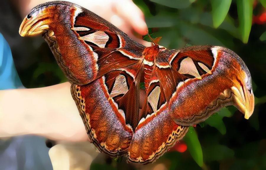 cea mai mare insectă)