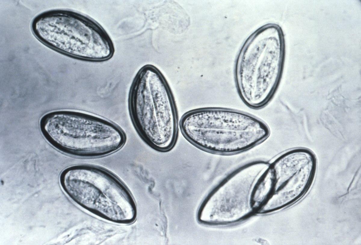 Imagem de oxiurus Gaura de vierme anglia