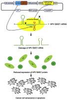 invitro papillomavirus uman)