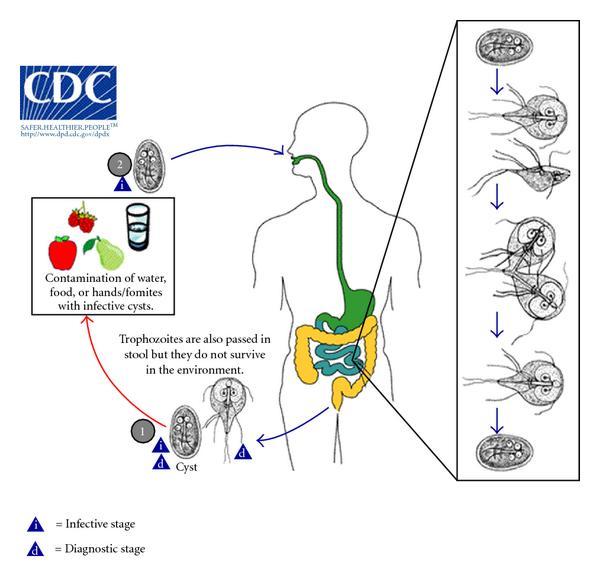 Giardia gatto uomo - Virus del papiloma humano verrugas en el pie