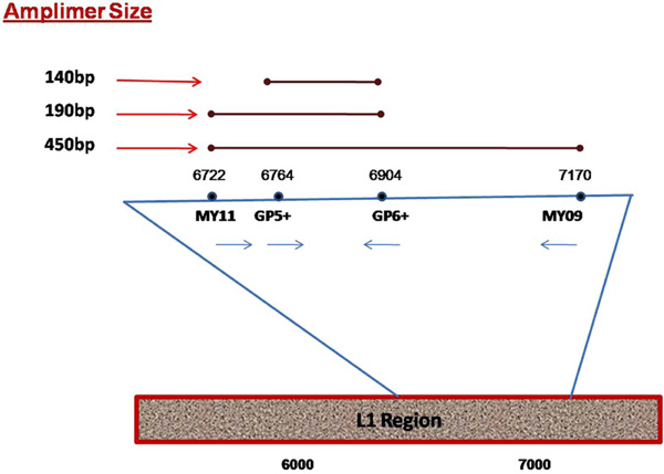 Human papilloma virus 16, 18 (genotipare) - Invitro Diagnostics