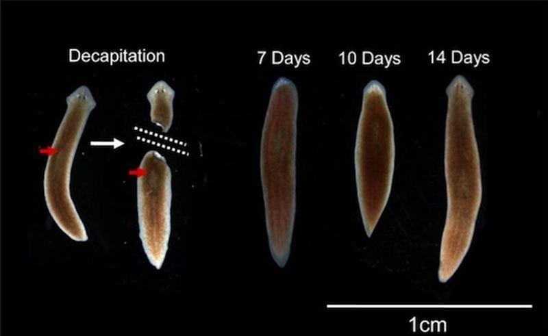 forma de platyhelminthes planaria