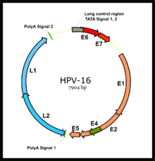human papillomavirus oncogenes)
