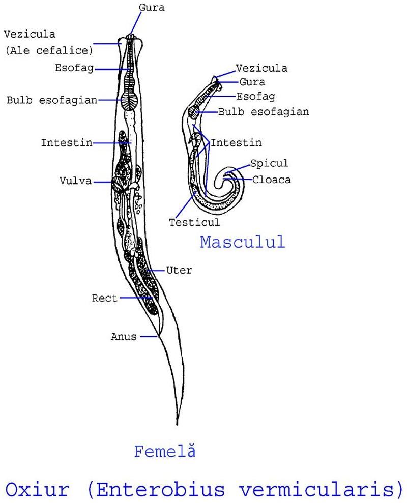 enterobius vermicularis zdravljenje