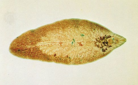 platyhelminthes flukes trematoda)