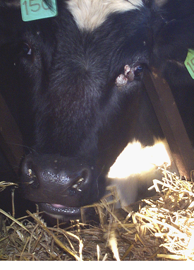 warts treatment in cows)