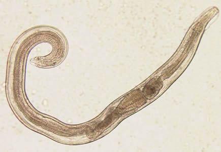 enterobius vermicularis fisiologia)