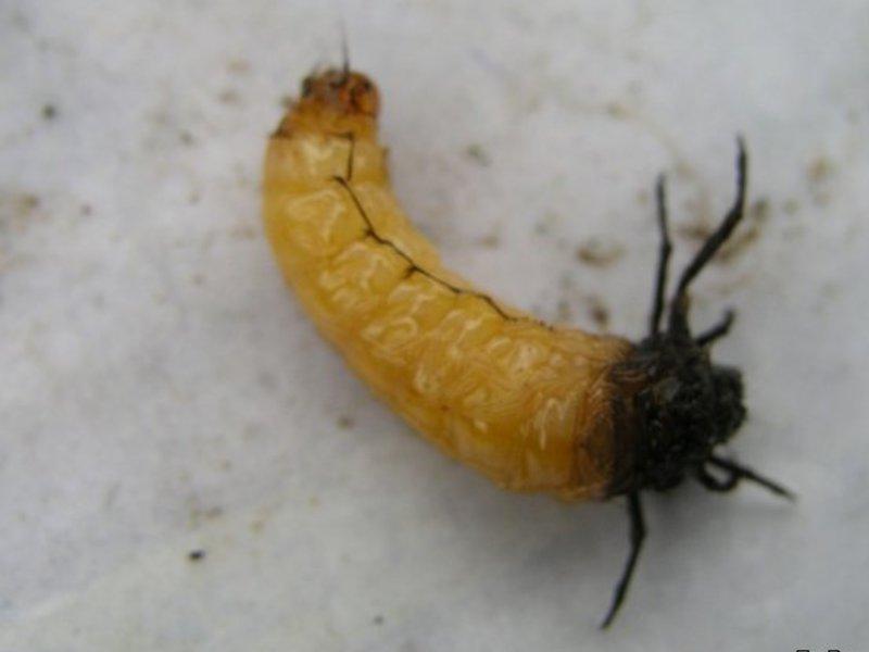 scapă de viermi cu dușmani de sodă)