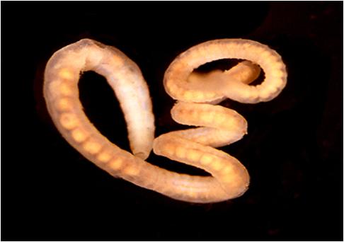Paraziții acvatici sunt viermi, Viermi si paraziți intestinali – tipuri, simptome, tratament