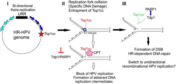 hpv high risk typing by rna transcription)