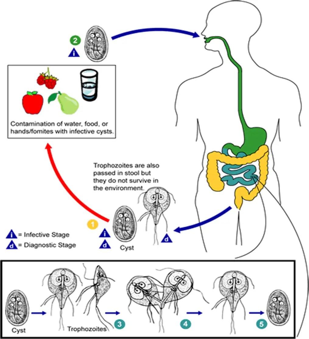 izolarea cdc giardia platyhelminthes turbellaria dugesia
