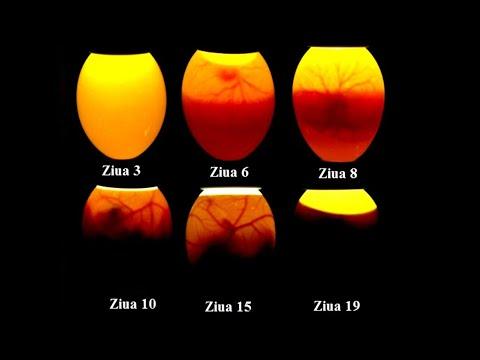 perioada de incubație pentru toxoplasmoză: fesele taurului