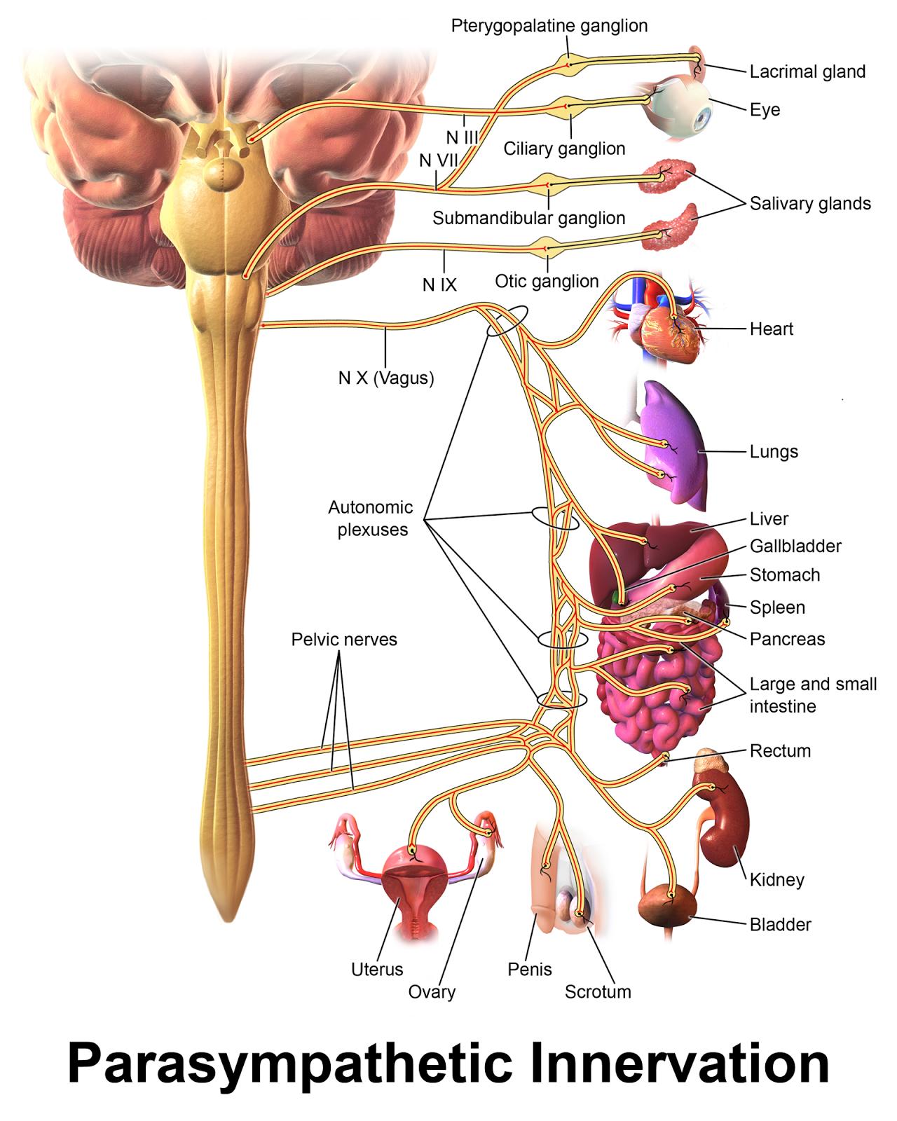 sistemul nervos al fergusilor