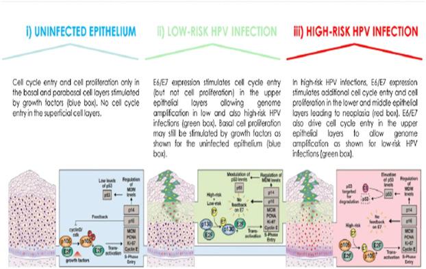 human papillomavirus high risk probe)