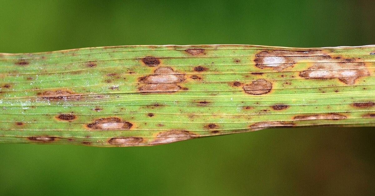 peranan helminthosporium oryzae