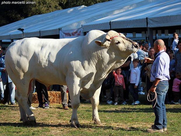 taur mărimea și forma taurului)