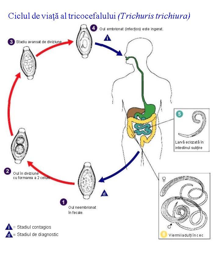 ciclul de viață al helminților