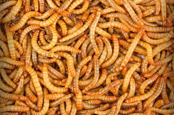 Ce mănâncă viermii de vierme