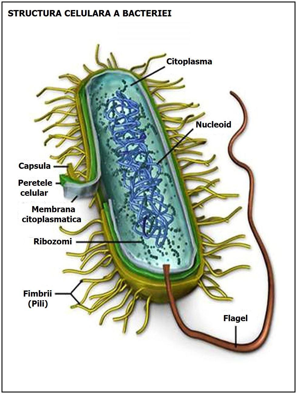 bacterii unicelulare)