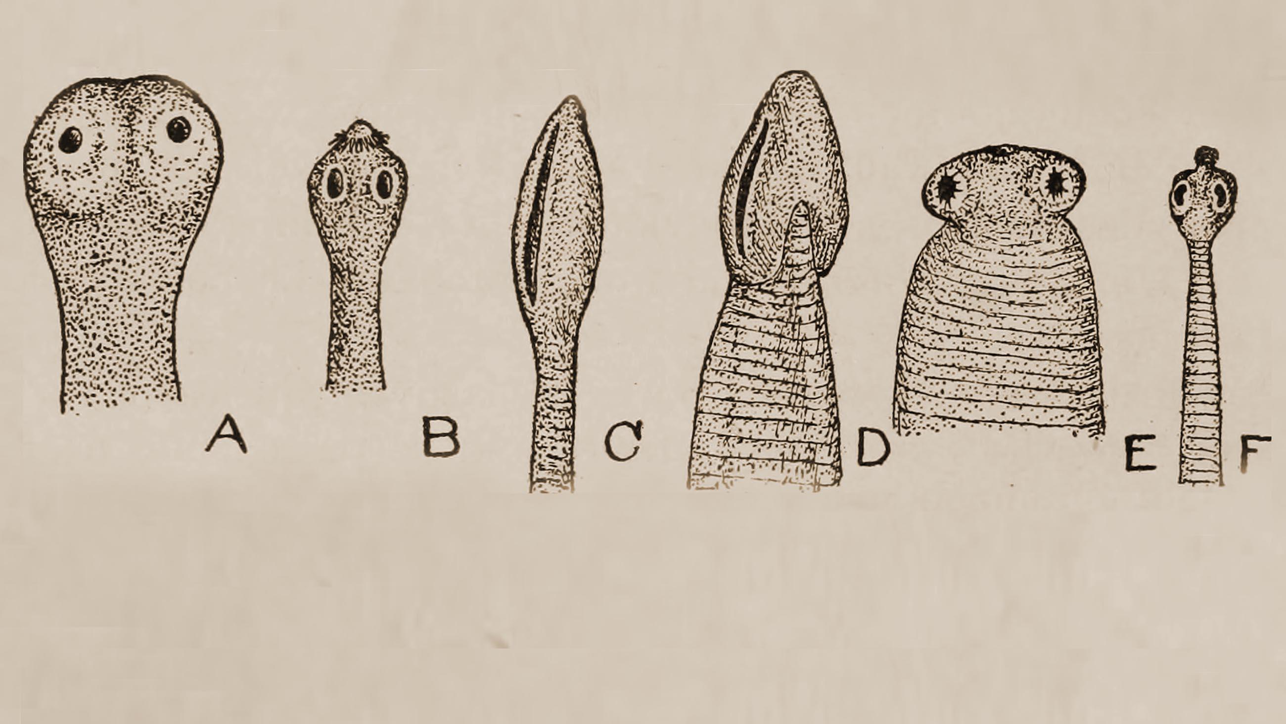 helminth parasitic worm)