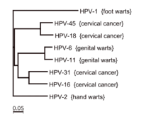 Human papillomavirus especially strains 16 and 18, Human papillomavirus vaccine strains