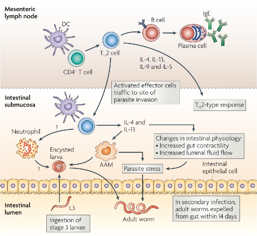helminthiasis helminth infection