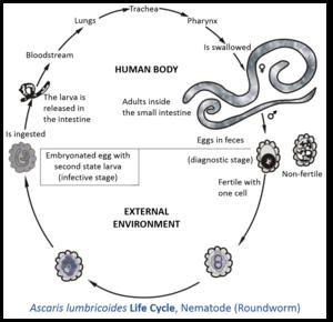 ciclul de viață al dezvoltării viermilor rotunzi