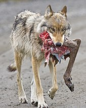 papillomatosis in wolves