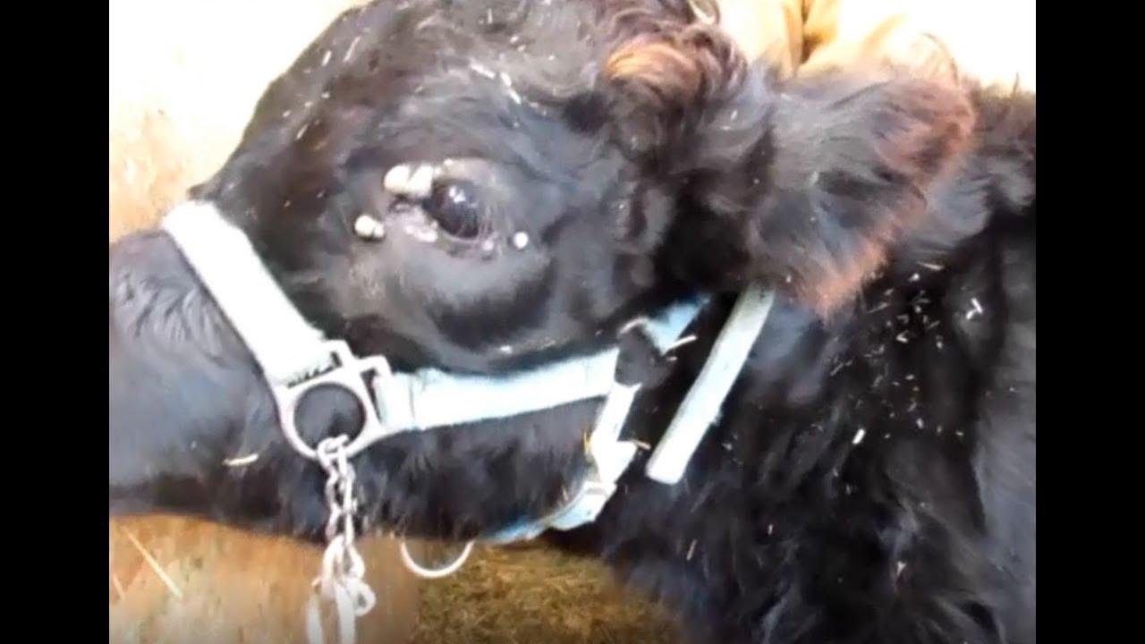 Papilloma virus in cows - Papillomas cows