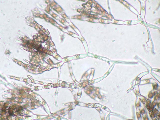 nemalion helminthoides taxonomie