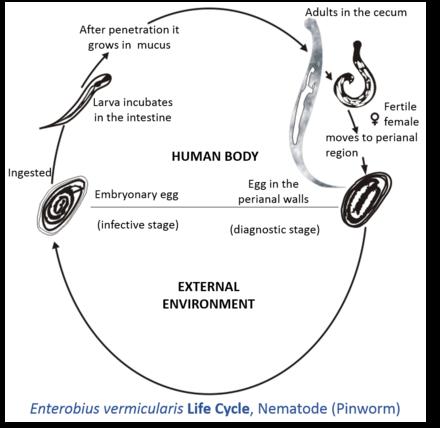 schema de tratament cu enterobioză