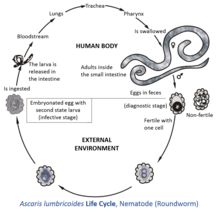 meaning of helminth