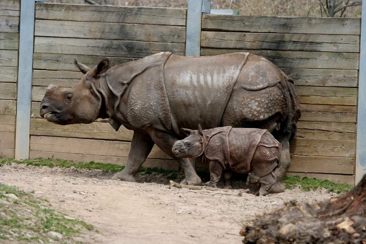 Schleich A stabilit rinocerul indian în junglă