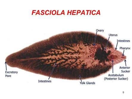 platyhelminthes kelas monogenea hpv sintomi gola