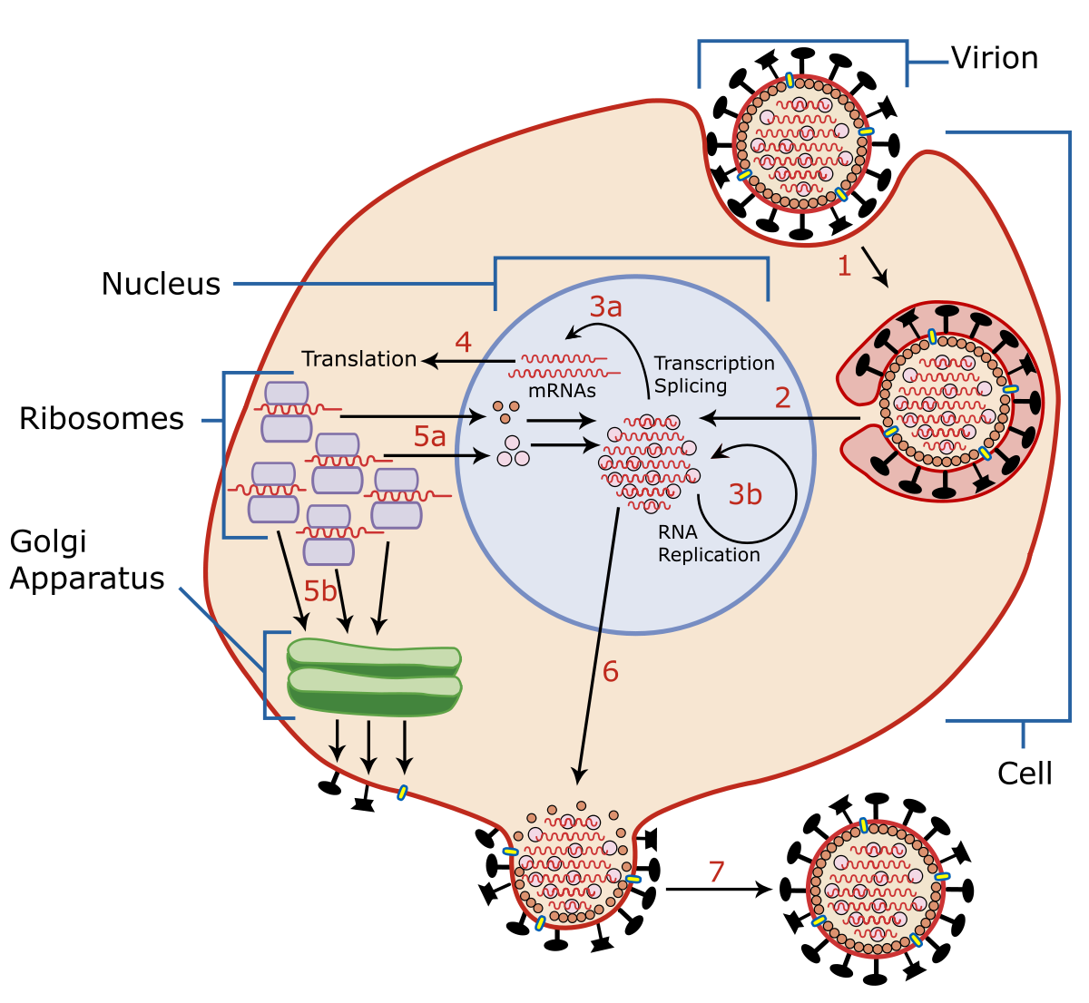 hpv virus latente