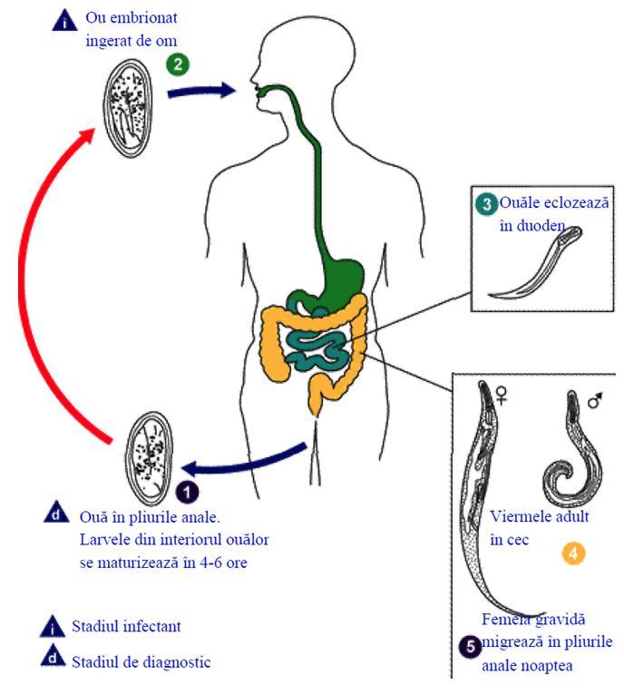 Cum poţi scăpa de viermii intestinali. - Pentru prevenirea copiilor de viermi, dacă