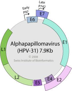 papilloma virus genome