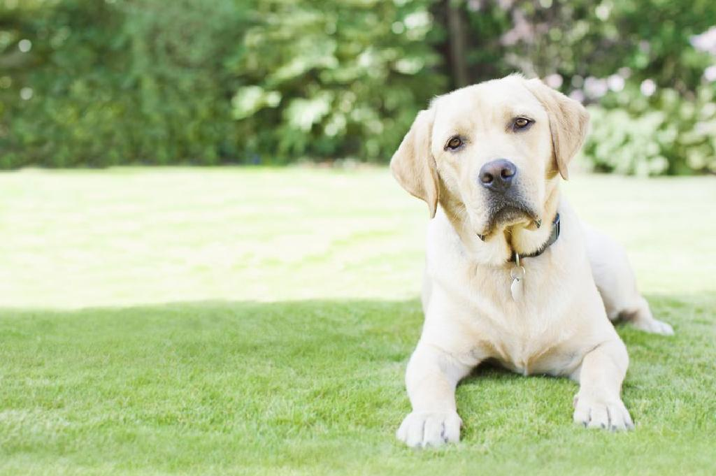 vierme medicament pentru labrador