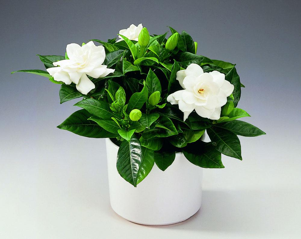 gardenie netratată vierme medicina italia