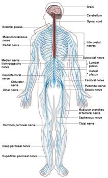sistemul nervos al fergusilor)