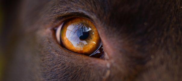 ojos de perro)