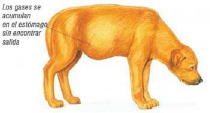 cancer abdominal en perros
