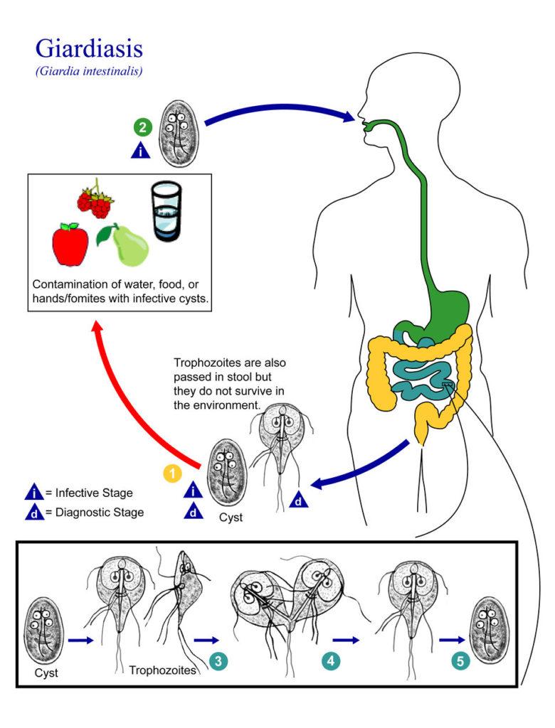 Amebieza giardiozei. Dysbiosis bacteria