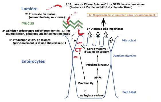 toxine cholerique