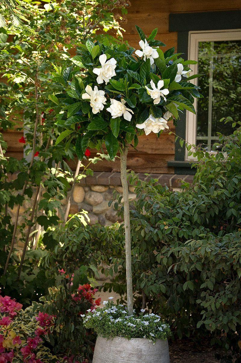 De ce gardenia ta are frunze galbene