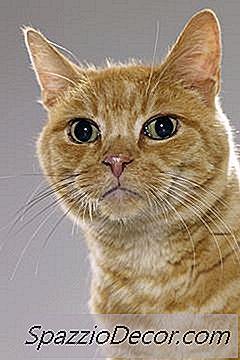 papillomvirus hos katt)