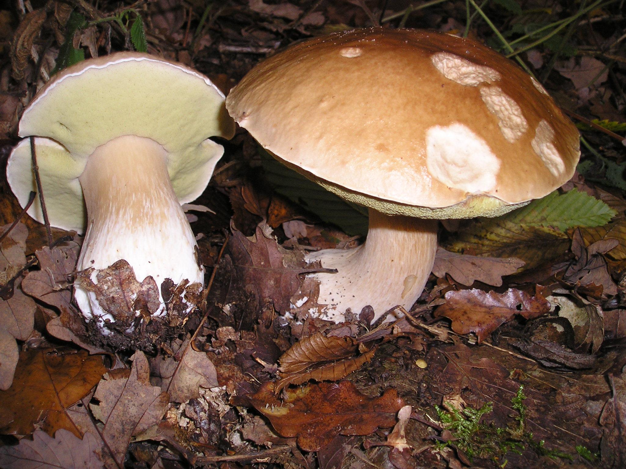 ciuperci hribi