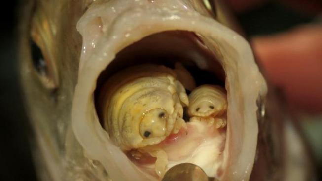 parazit ryba