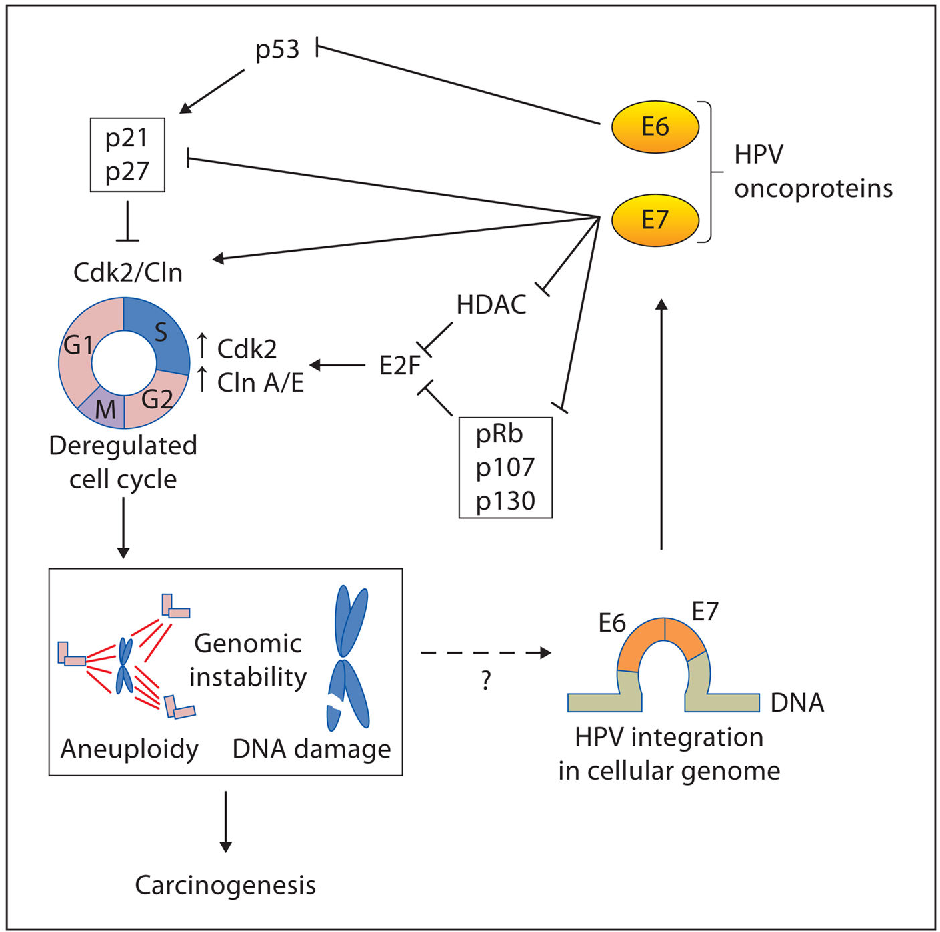 hpv cancer mechanism)